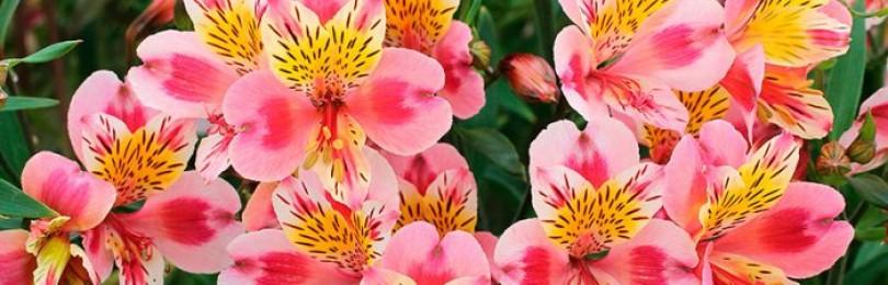 Альстромерия — особенный цветок для особенных случаев