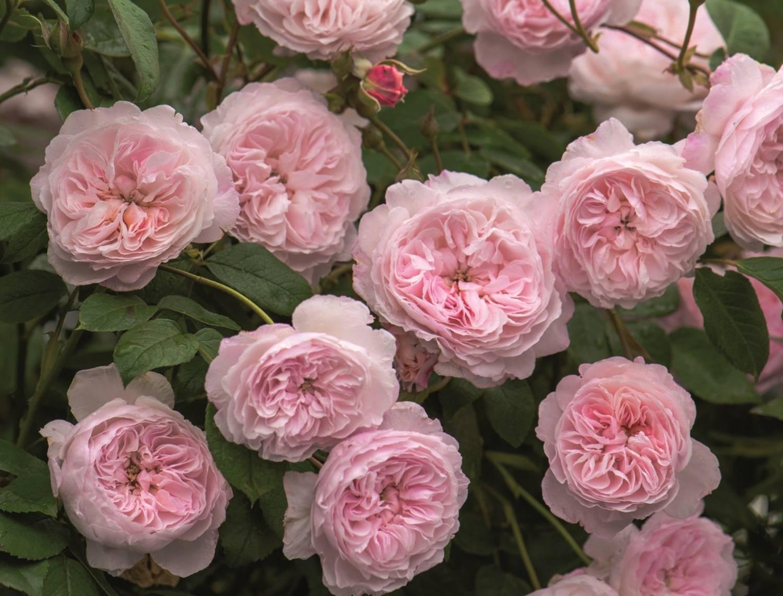 Топ 10 плетистых роз для сада